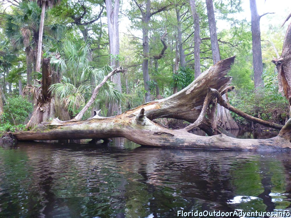 Kayaking-On-Loxahatchee-River-Under-The-Cypress-Tree-Canopy-03.jpg
